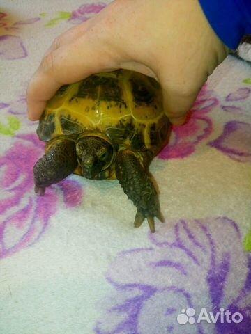 Черепаха сухопутная отдам в хорошие руки