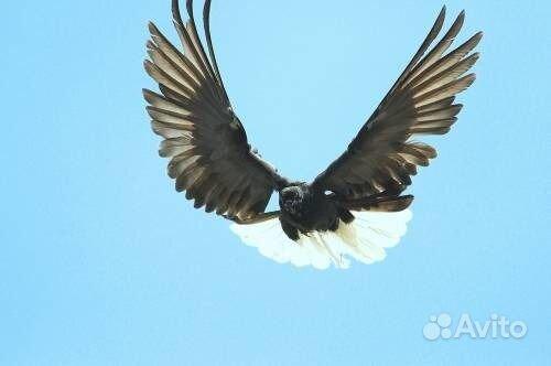 Продаются Николаевские голуби