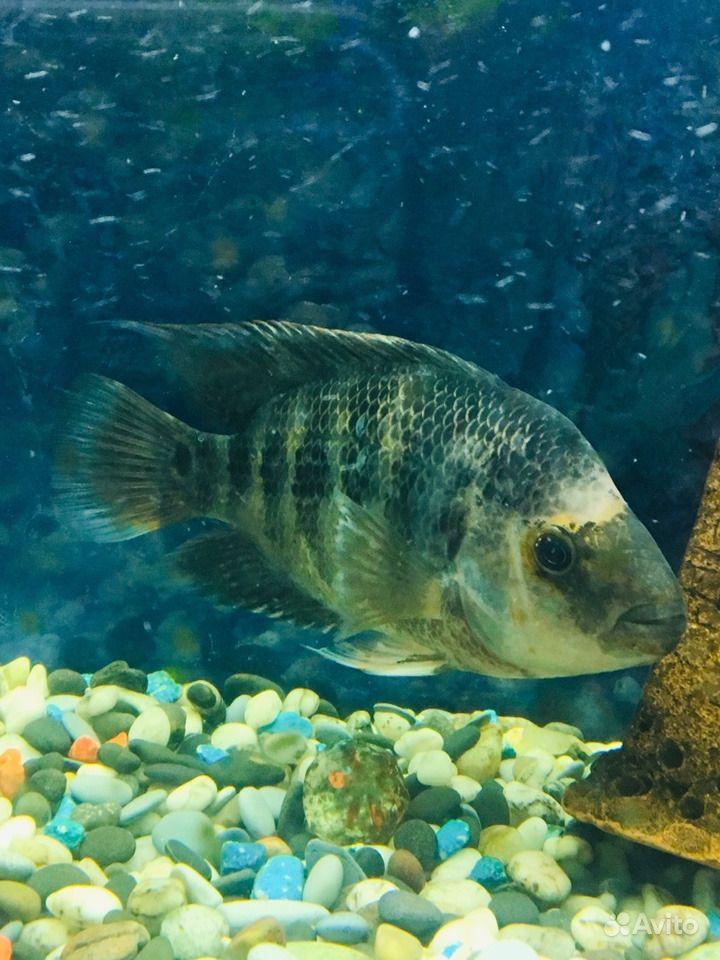 Рыба цихлида. Цихлазома лимонная. Сейчас линяет