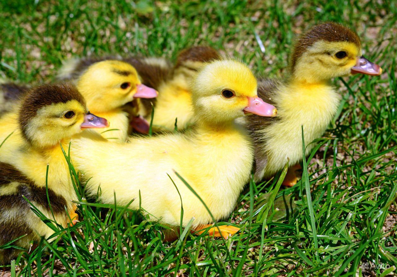 картинки цыплят утят гусят индюшат показала, как