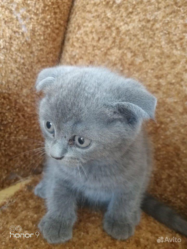 Продам британского вислоухого котёнка мальчика вес