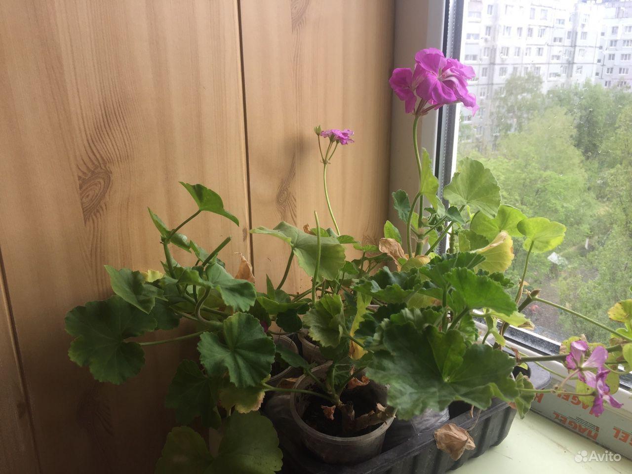 Герань пеларгония купить на Зозу.ру - фотография № 4