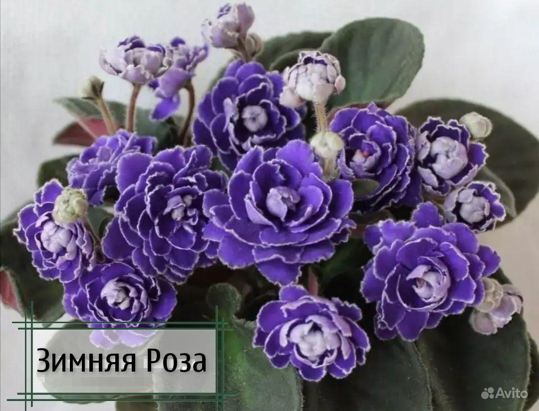 Фиалки детки купить на Зозу.ру - фотография № 1