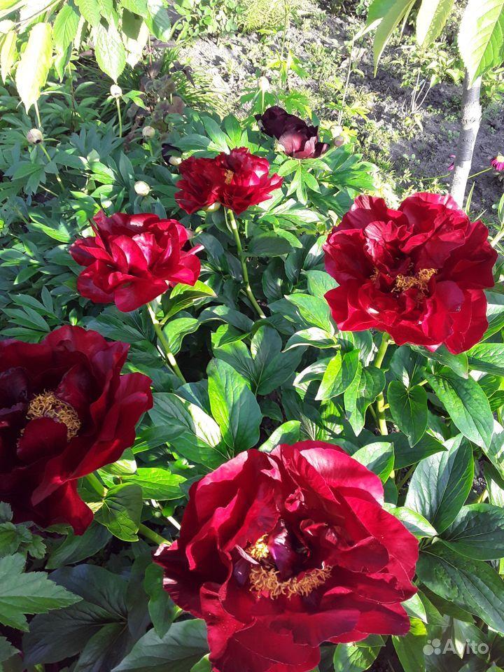 Цветы многолетние купить на Зозу.ру - фотография № 7