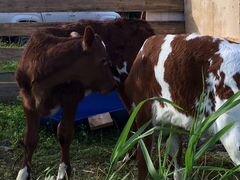 Объявления о животных куплю коров карелия объявление сдам квартиру