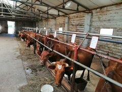 Коровы стельные