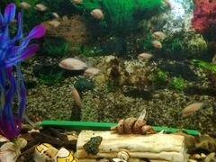 Рыбки аквариумные мальки 5 месяцев циклоиды фламин