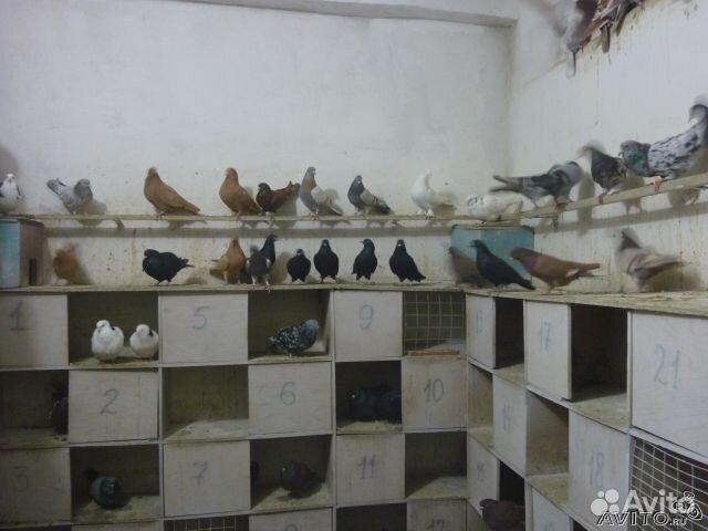 Бакинские голуби