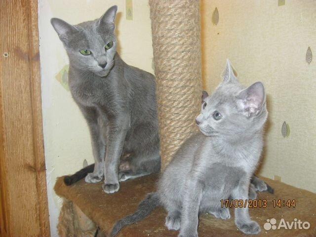 Котята действительно Русской Голубой. Элита - купить, продать или HB13