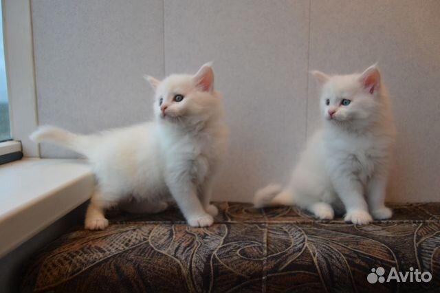 котята мейн кун белые фото