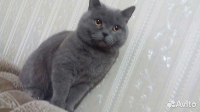 Британский кот вязка авито