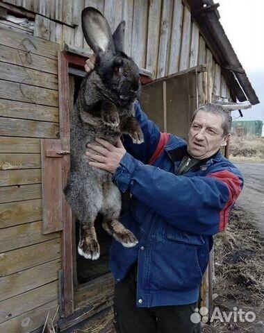 штрафом кролик фландр купить в спб цена вакансии прямой работодатель