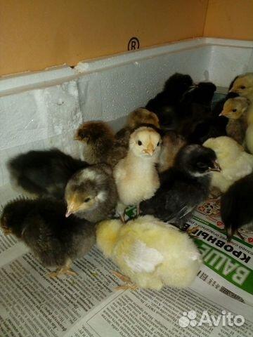 Продам цыплят от несушек купить 1