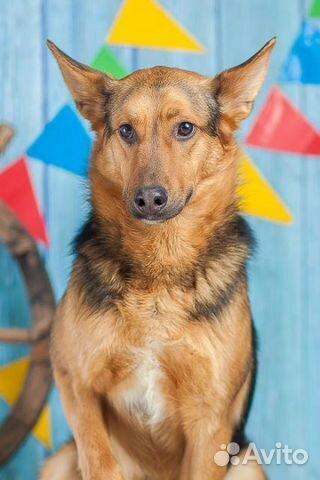 Овчаристый пёс Берти в добрые руки/ в дар купить на Зозу.ру - фотография № 3