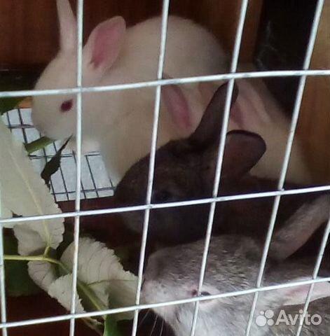 Rabbits CA
