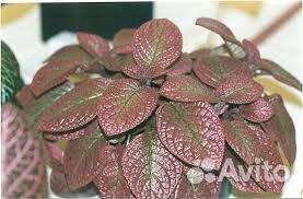 Эписция Strawberry Patch 89647400833 купить 1