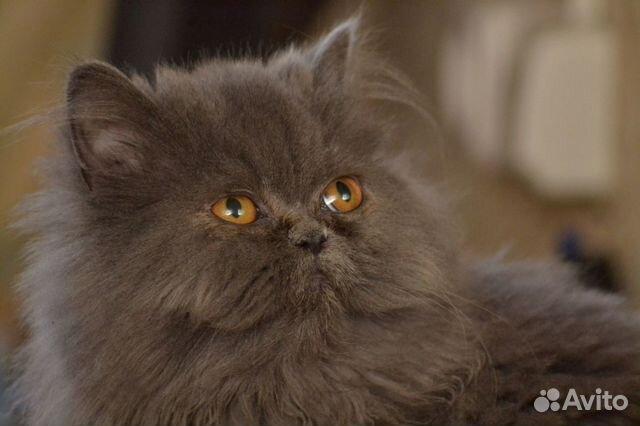 Персидские кошки и коты купить 2
