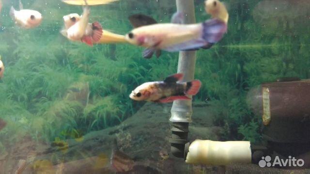 Аквариумные рыбки  89603595956 купить 6