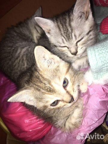 Котята в добрые руки даром  89833975530 купить 1