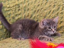 Котенок Шурочка ласковая девочка в дар
