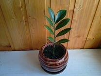 Замиокулькас. Долларовое дерево