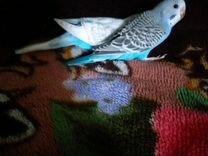 Птенчики волнистого попугая