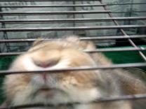"""Кролик породы """"баран """""""