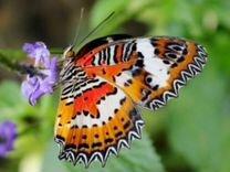 Живые Тропические бабочки Короева Саванны