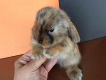 Крольчата Карликовые «Вислоухий барашек»