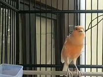 Годавалые кенары поющие — Птицы в Москве