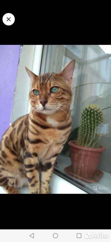 Бенгальские котята  89610262725 купить 3