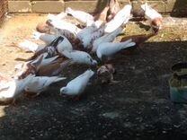 Продаю голубей Бакинцев