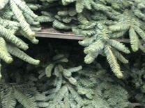 Нобилис — Растения в Рязани