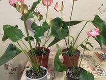 Антуриум — Растения в Саратове