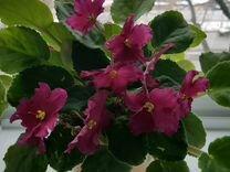 Фиалка — Растения в Екатеринбурге