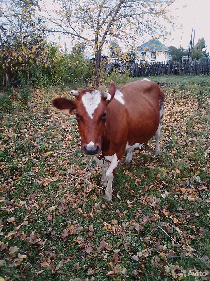 Корова  89502121607 купить 2