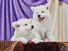 Высокопородные щенки швейцарской овчарки