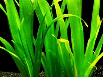 Аквариумные креветки-вишни, растения