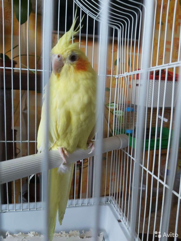 Попугай корелла  89800157867 купить 7