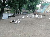 Гуси, утки, куры, яйца, молодняк