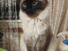 Сиамская кошка вязка